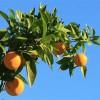rentals in CA: oranges