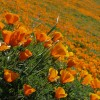 apartments in california: poppies