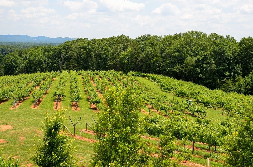 Vineyard, Winery, Landscape, Outdoors, North Georgia